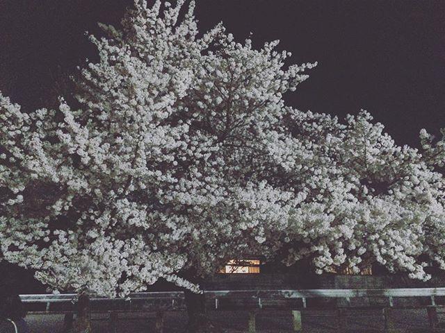 搬出は 1つの空間の 「死」。そして 桜が 満開だった。そして 猫が 脱走もした。 すぐ 戻ってきたけど。